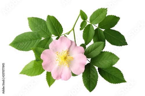 Fototapeta Dogrose flower with green leaf isolated on white background obraz