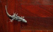 Dried Common House Gecko On Wooden Floor
