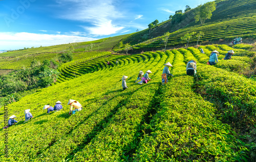 Da Lat, Vietnam - May 14, 2018: Group farmers in labor costume, conical hats harvesting tea in the morning. This is a form collective labor, reflecting culture in highlands Da Lat, Vietnam