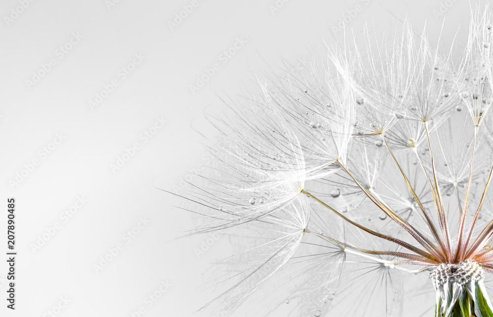 Fototapety, obrazy: dandelion seed background. Seed macro closeup. Spring nature