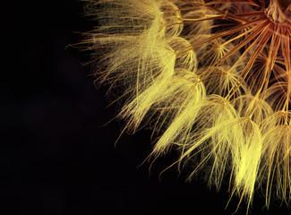Panel Szklany Podświetlane Dmuchawce Dandelion seed in black