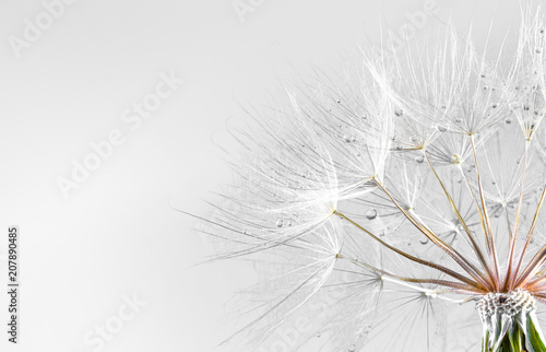 Pissenlit dandelion seed background. Seed macro closeup. Spring nature