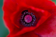 Close Up Of Inside Of Emerging Red Poppy Flower, Papaver Rhoeas. Selective Focus. Viewed From Above. Also Known As The Flanders Poppy.