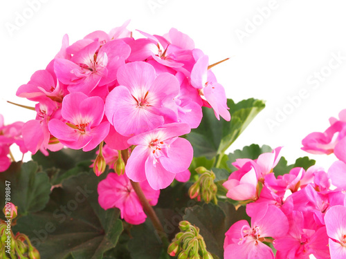 Pink geranium, pelargonium flower on white background