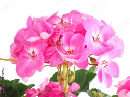 Pink geranium, pelargonium flower on white background