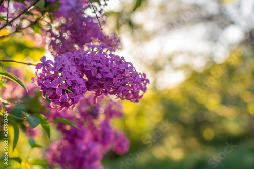 Fotobehang Lilac Lilac