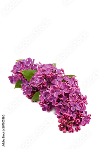 Foto op Canvas Lilac Lilac branch isolated on a white background