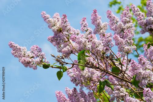 Foto op Canvas Lilac A lush Bush of lilac blossoms against the blue sky
