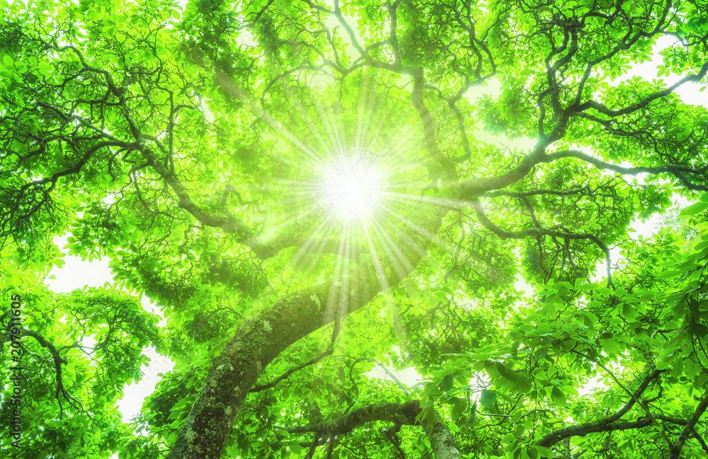Sonne scheint durch das Blätterdach eines schönen Baumes - Sun shines through the canopy of a beautiful tree