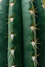 Close Up Texture Of Green Cactus With Needles