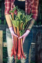 Tattooed Authentic Gardener Holding Rhubarb