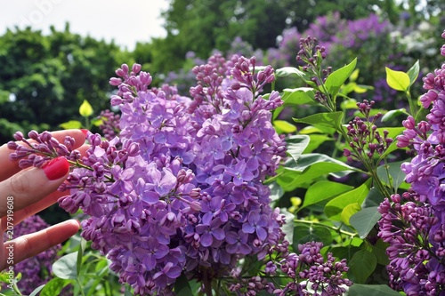 Foto op Canvas Lilac Lilacs garden in Moscow. Blooming lilac trees. Color photo.