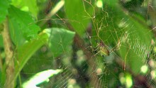 Close-Up: Tiger-Face Spider On...