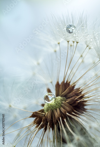 Canvas Prints Dandelions and water Fluffy dandelion