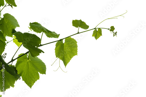 Fotografia The texture of the grape vine with grapes ovary isolated on a white background
