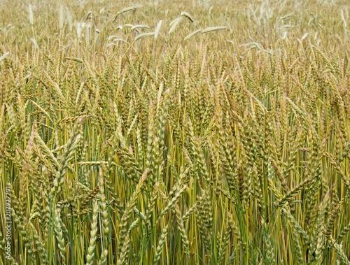 Fotografie, Obraz  Wheat field, the corn growing ripe in July