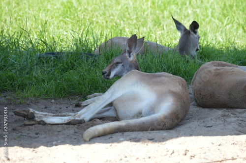 Foto op Plexiglas Kangoeroe Kangaroo laying in the shade