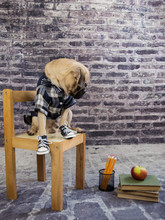 Cute Pug Dog Wearing Plaid Shirt And Running Shoes Sitting On A Chair Going To School