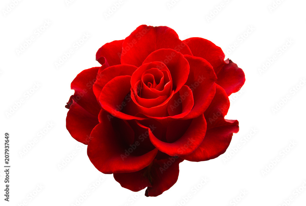 red beautiful rose isolated