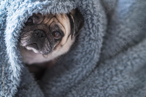 Papel de parede  nice beautiful hidden dog pug play and stay durious in a blue cover at home looking at you