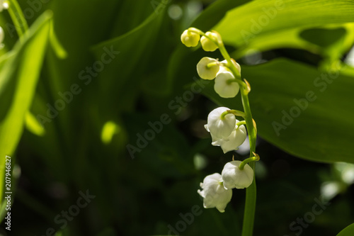 Foto op Aluminium Lelietje van dalen Lily of the valley is the smell of spring.