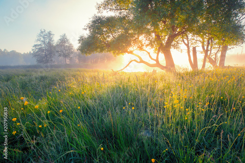 Poster Printemps Summer background. Summer nature early in the morning. Colorful mist in morning sunlight over meadow. Sun shines through tree on wild flowers.