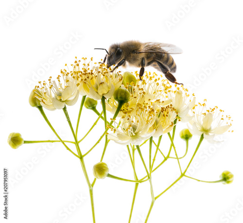 Linden flowers with honey bee isolated on a white background