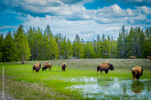 Aluminium Prints Herd of bison grazing on a field with stagnant water after a rain and goegous mountains and trees in the background