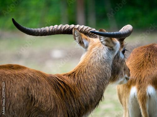 Foto op Plexiglas Antilope Antilope