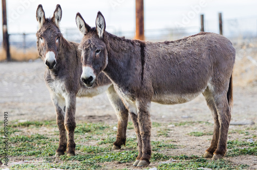 Foto op Canvas Ezel Donkeys