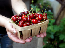 In The Hands Holds A Basket Full Of Sweet Cherries