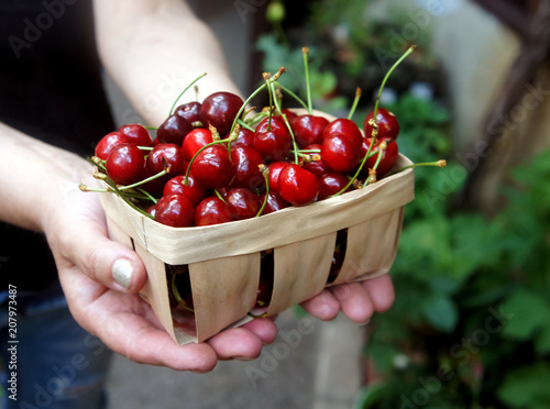 in the hands holds a basket full of sweet cherries Canvas Print