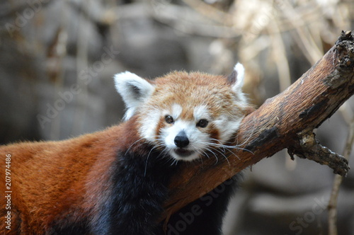 Stickers pour portes Panda A red panda