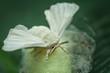 Seidenspinner (bombyx mori) auf dem Kokon sitzend