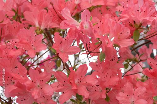 Papiers peints Azalea Coral pink azalea flowers.