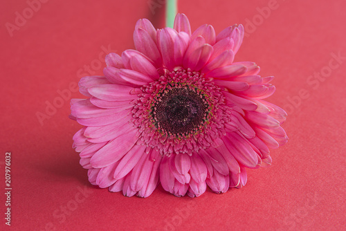 Foto op Plexiglas Gerbera Pink gerbera flower on red background close up