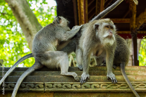 Foto op Canvas Aap Funny monkey family witrh alpha male in Monkey Fores, Ubud, Bali, Indonesia
