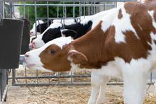 Rinderzucht, Jungkühe - Aufzucht Von Milchhkälbern,