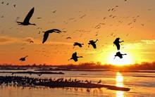 Migrating Sandhill Cranes Alon...
