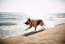 German Shepherd Running On The...