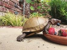 Three Toed Box Turtle Eating B...