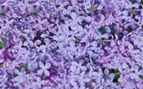 natural texture of lilac flowers background