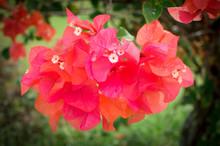 Bougainvillea Flower Blooming