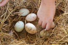 Duck Egg On Ground, Fresh Eggs