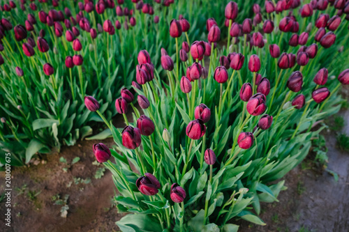 Colorful purple tulips and green foliage growing in abundance in a spring garden