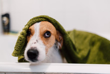 Dog Standing In Bathtub Covered With Towel After Shower
