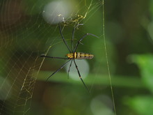 A Spider ,Colourful Orb-weaving, Nephila Pilipesn On Web In Baan Grang, Kangkrachan Forest, Petchburi