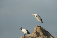A Grey Heron And An African Sacred Ibis On Termite Mound