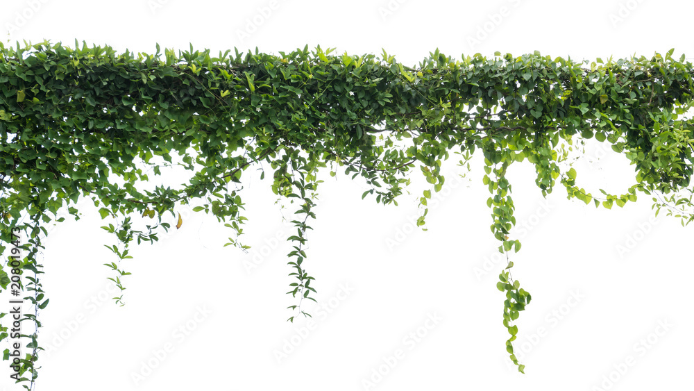 Fototapety, obrazy: Ivy green with leaf on isolate white background