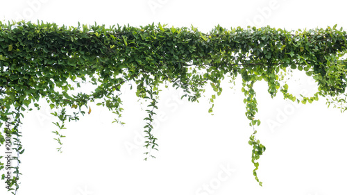 Wall Murals Plant Ivy green with leaf on isolate white background